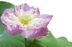 Różowy lotos na odosobnionym Zdjęcie Stock