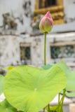 Różowy lotos w basenie Zdjęcie Stock