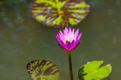 Różowy lotos w jeziorze Fotografia Royalty Free