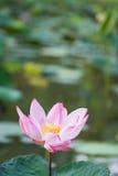 Różowy lotos w stawie Fotografia Stock