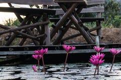 Różowy lotos w stawie Zdjęcia Royalty Free
