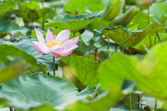 Różowy lotos w stawie (wodnej lelui kwiat) Zdjęcia Royalty Free