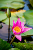 Różowy lotosowego kwiatu kwitnienie Obraz Royalty Free