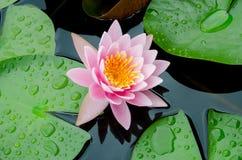Różowy lotosowy kwiat