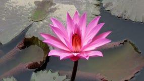 Różowy lotosowy kwiat fotografia stock