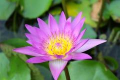 Różowy lotosowy kwiat Obraz Royalty Free
