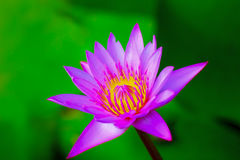 Różowy lotosowy kwiat Zdjęcie Royalty Free