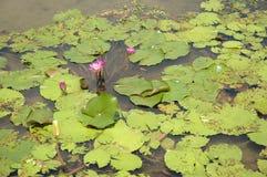 Różowy Lotus Zdjęcia Royalty Free