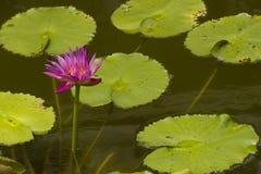 Różowy Lotus Obrazy Stock
