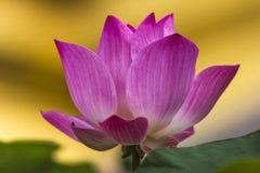 Różowy Lotus Obraz Stock