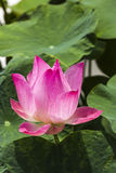 Różowy Lotus Zdjęcie Stock