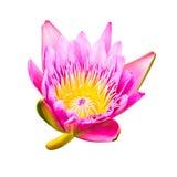Różowy Lotus Zdjęcia Stock