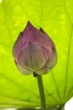 Różowy Lotus Zdjęcie Royalty Free