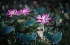 Różowy Lotus Obraz Royalty Free