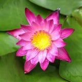 różowy Lotus na stawie Obrazy Stock