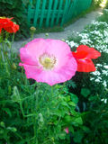 Różowy maczek Zdjęcie Stock
