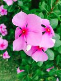 Różowy madamaska kwiat Obrazy Stock