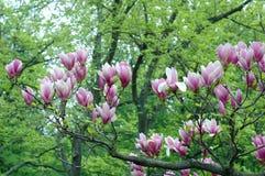 różowy magnolii Obrazy Stock