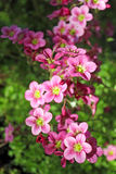 Różowy mech Obraz Stock