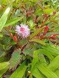 Różowy mimoza kwiat Zdjęcia Stock