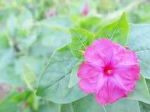 Różowy Mirabilis w ogródzie Obraz Royalty Free