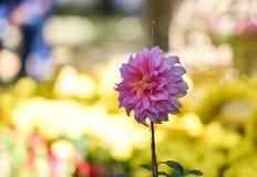 Różowy nagietek Fotografia Royalty Free