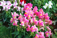 Różowy ogród Obraz Royalty Free