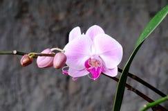 Różowy Orchidaceae Phalaenopsis w ogródzie Zdjęcia Stock