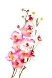 różowy orchidea Fotografia Stock