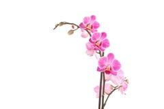 różowy orchidea Zdjęcia Royalty Free