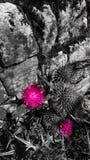 Różowy oset obrazy stock