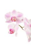 Różowy pasmowy storczykowy kwiat zdjęcie royalty free