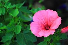 Różowy Pelargonium dekoruje gazon Obrazy Royalty Free