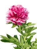 różowy peoni Zdjęcie Stock