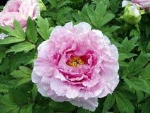 różowy peoni Zdjęcia Stock