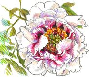 różowy peoni drzewo Obraz Royalty Free