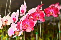 Różowy Phalaenopsis fotografia stock