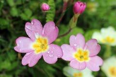 Różowy pierwiosnek, primula vulgaris sibthorpii Zdjęcie Royalty Free