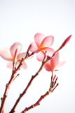 Różowy plumeria Obrazy Stock