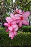 różowy plumeria Zdjęcia Stock