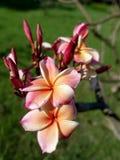 różowy plumeria kwiat Obraz Royalty Free