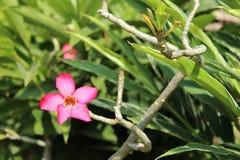 różowy plumeria kwiat Obrazy Stock
