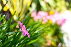 Różowy podeszczowy leluja kwiat (Zephyranthas sp ) Zdjęcia Stock