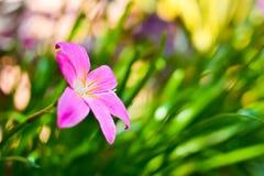 Różowy podeszczowy leluja kwiat (Zephyranthas sp ) Obraz Stock