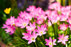 Różowy podeszczowy leluja kwiatu Zephyranthas sp Obrazy Stock