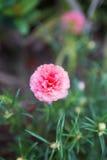 Różowy pospolitej portulaki kwiat Obrazy Royalty Free