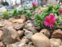 Różowy pustynny kwiat Fotografia Royalty Free