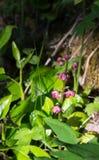 Różowy pyrola w kwiacie Obrazy Royalty Free