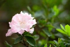 różowy rhododendron Fotografia Royalty Free