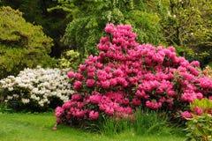 różowy rhododendron Zdjęcia Stock